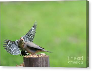 Red Bellied Woodpecker Chasing Mourning Dove Off The Log Canvas Print by Dan Friend