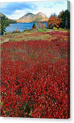 Red Berry Bushes At Jordan Pond Canvas Print by George Oze