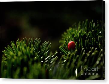 Red Berry In Evergreen Tree Canvas Print by Dan Friend