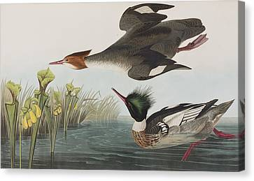 Red-breasted Merganser Canvas Print by John James Audubon