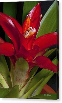 Red Bromiliad Canvas Print by Christopher Holmes