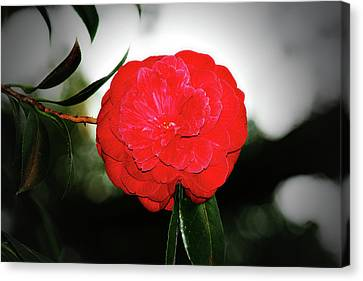 Red Camellia Canvas Print by Douglas Barnard