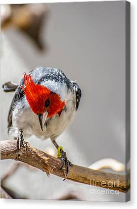 Red-crested Cardinal  Canvas Print by Gary Whitton
