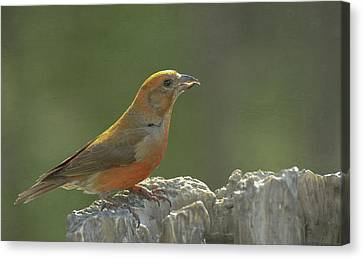 Red Crossbill Canvas Print by Constance Puttkemery