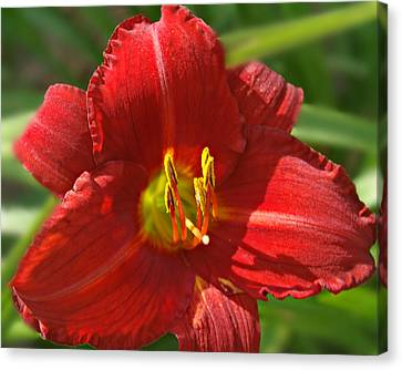 Red Daylily Beauty Canvas Print by Kathy Krause