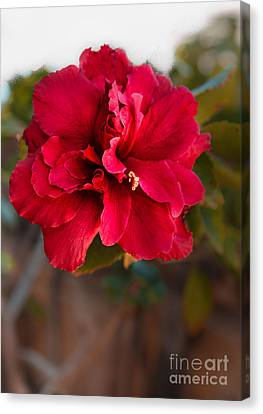 Red Double Hibiscus Canvas Print by Robert Bales