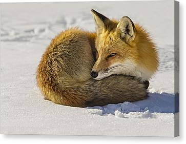 Red Fox Resting Canvas Print by Susan Candelario