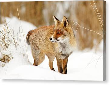 Red Fox Standing In The Snow Canvas Print by Roeselien Raimond