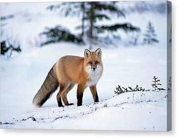 Red Fox Vulpes Vulpes Portrait Canvas Print by Konrad Wothe