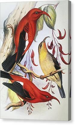 Red Hawaiian Honeycreeper Canvas Print by Hawaiian Legacy Archive - Printscapes