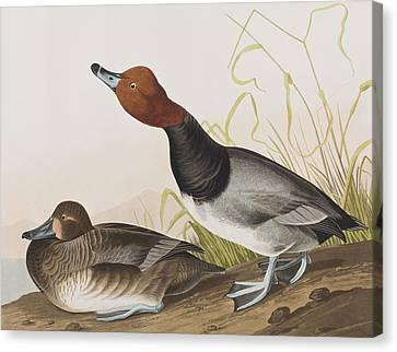 Red-headed Duck Canvas Print by John James Audubon