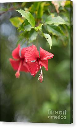 Red Hibiscus Details Canvas Print by Mike Reid