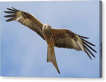 Red Kite Canvas Print by Ian Hufton