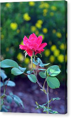 Red Knockout Rose Vertical Canvas Print by Aimee L Maher Photography and Art Visit ALMGallerydotcom
