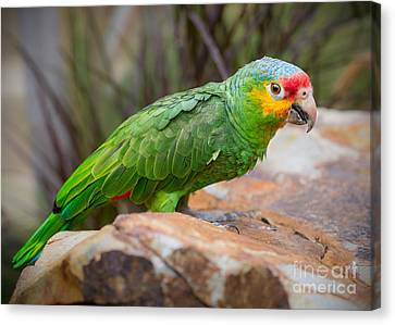 Red Lored Amazon Parrot Canvas Print by Jamie Pham