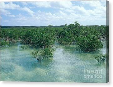 Red Mangrove Forest Canvas Print by John Kaprielian