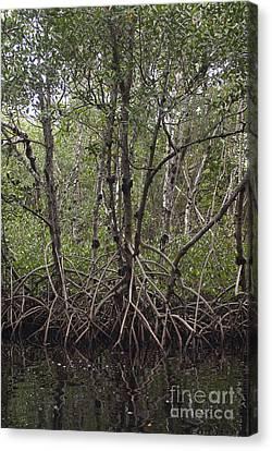 Red Mangrove Swamp, Florida Canvas Print by Scott Camazine
