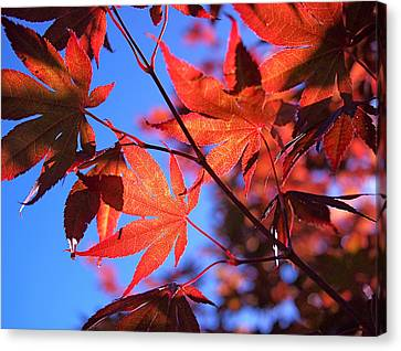 Red Maple Canvas Print by Rona Black