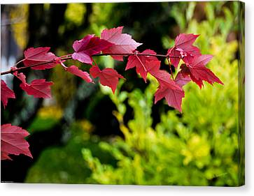 Red Red Maple Leaves Canvas Print by Mick Anderson
