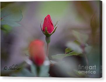 Red Red Rose Canvas Print by Christopher Saleh
