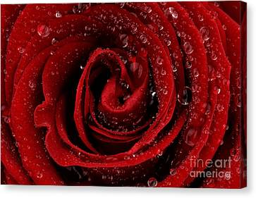 Red Rose Canvas Print by Mark Johnson