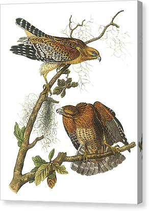 Red-shouldered Hawk Canvas Print by John James Audubon
