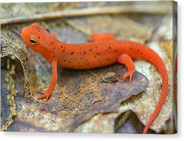 Red Spotted Newt  Canvas Print by Derek Thornton