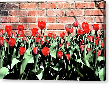 Red Spring Tulips 2 Canvas Print by Angelina Vick