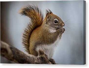 Red Squirrel Canvas Print by Paul Freidlund