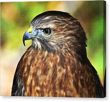 Red Tail 4b   Canvas Print by Marty Koch