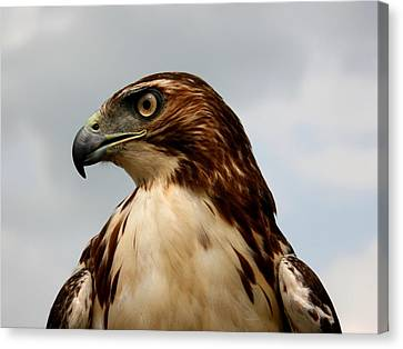 Red Tail Hawk 1 Canvas Print by David Dunham