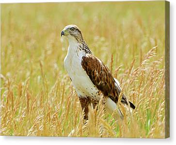 Red Tail Hawk Canvas Print by James Steele