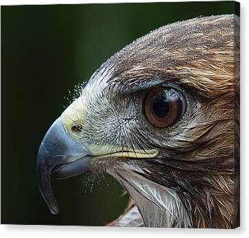 Red Tail Hawk Misted Canvas Print by Peter Gray