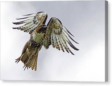 Red Tail Takeoff Canvas Print by Randall Ingalls