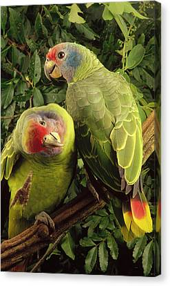 Red-tailed Amazon Amazona Brasiliensis Canvas Print by Claus Meyer