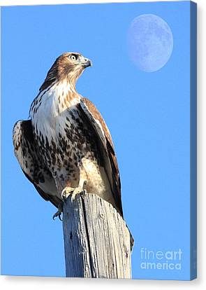 Red Tailed Hawk And Moon Canvas Print by Wingsdomain Art and Photography