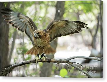 Red-tailed Hawk  Canvas Print by Juli Scalzi