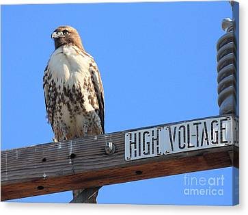 Red Tailed Hawk On High Voltage Canvas Print by Wingsdomain Art and Photography