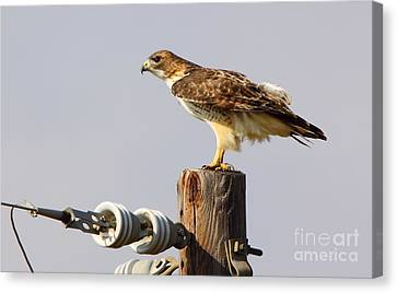 Red Tailed Hawk Perched Canvas Print by Robert Frederick