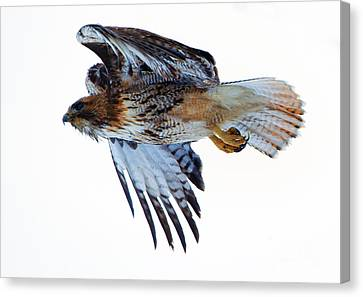 Red-tailed Hawk Winter Flight Canvas Print by Mike Dawson