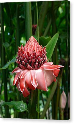 Red Torch Ginger Canvas Print by Tropical Ties Dominica