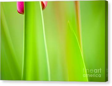 Red Tulip Canvas Print by Silke Magino