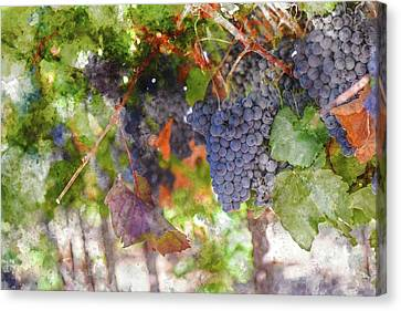 Red Wine Grapes On The Vine In Wine Country Canvas Print by Brandon Bourdages