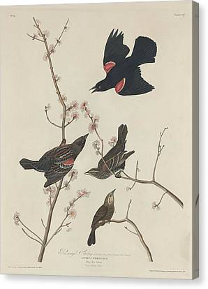 Red-winged Starling Canvas Print by John James Audubon