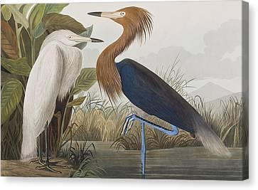 Reddish Egret Canvas Print by John James Audubon