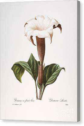 Redoute: Datura, 1833 Canvas Print by Granger
