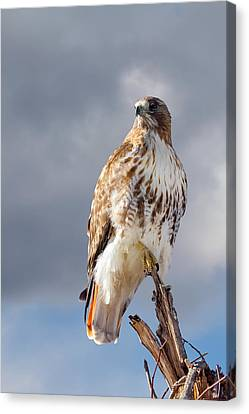Redtail Portrait Canvas Print by Bill Wakeley