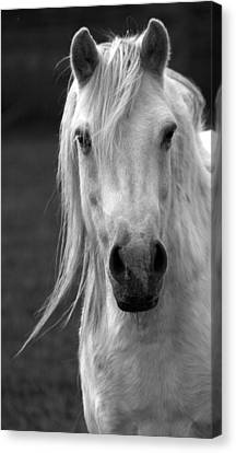 Redwings Horse In Monotone2 Canvas Print by Darren Burroughs