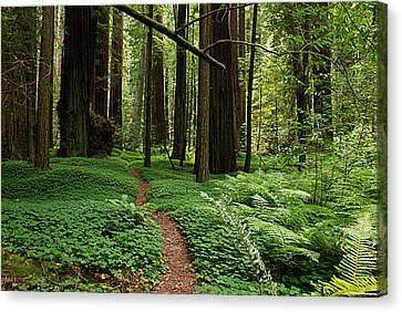 Redwood Forest Path Canvas Print by Melany Sarafis