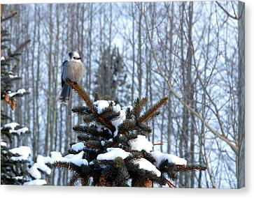 Refined Little Gray Jay In Colorado Canvas Print by Carol M Highsmith